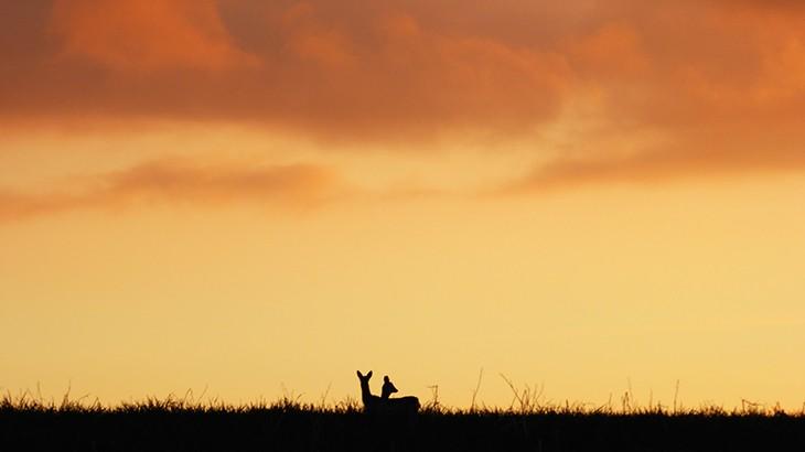 Nyder solnedgang sammen med råvildt