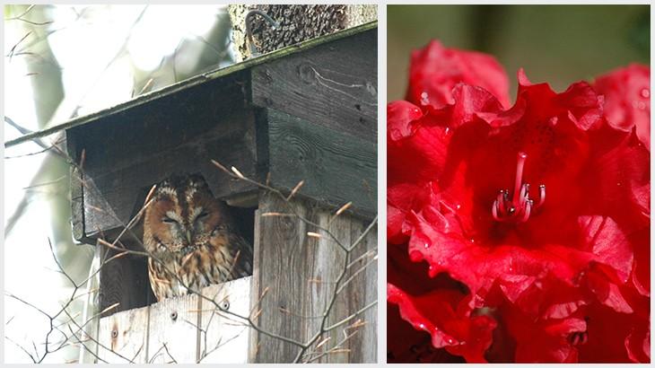 ugle-og-rhododendron-i-dollerup