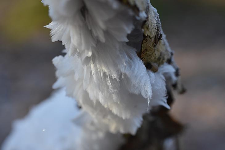 nisseskæg / håris - vinter 2018 - hald ege skov