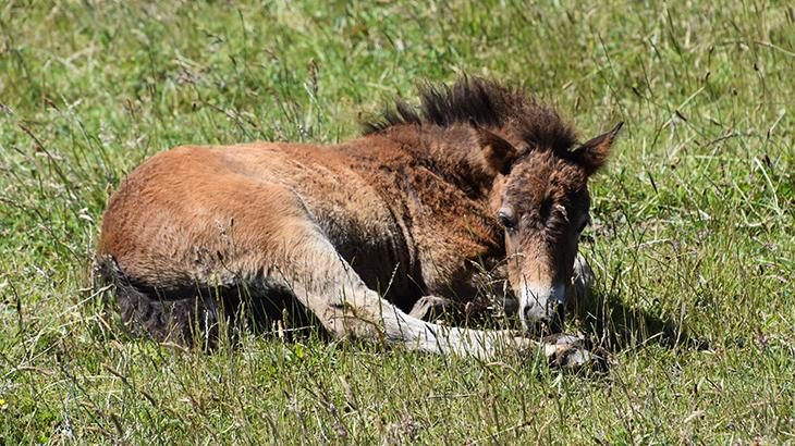 Langeland - vilde heste - føl af racen Exmoor