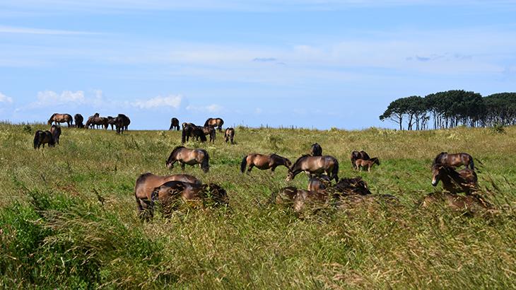 Langeland - vilde heste ved Gulstav - sydlige del af Langeland