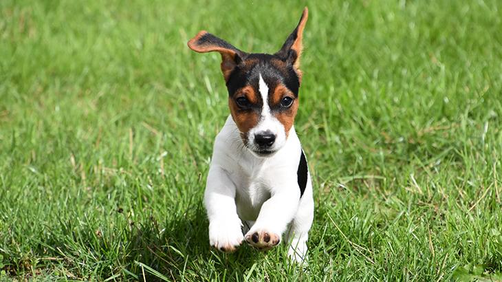 Jack Russell hundehvalp