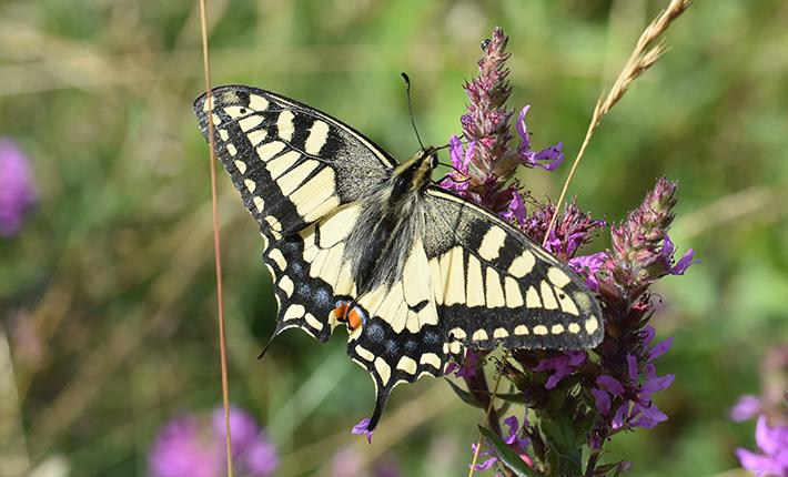 Svalestjert - smuk sommerfugl fanget med mit kamera ved Ytre Hvaler Nasjonalpark